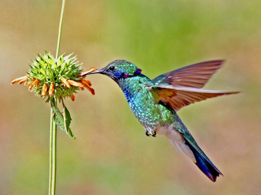 beautiful colibri bird hd - photo #28